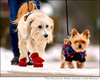 Dogs in winter booties